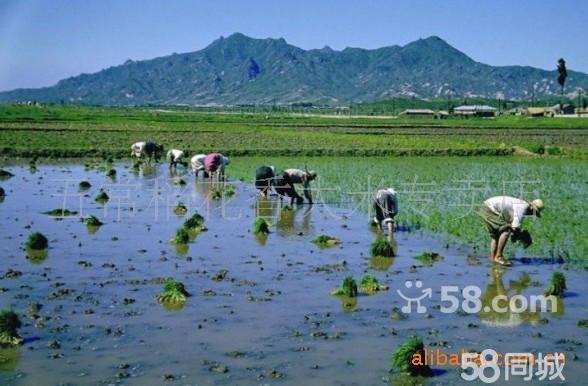 说五常道五常,现在五常最著名的当属稻花香。对于五常大米,人们都知道它非常好吃,并有着悠久的传统历史文化。据史记载,五常这个地域种植大米大约已有近200来年的历史。就其独特的地理、地质、地貌、气候、土壤、水质,应该说五常是全国最适合粳稻种植的最主要地域,也是我国粳米最大产出县。早在清廷就盛传着慈禧非五常大米不吃的说法。所以一直以来五常大米都是朝廷的贡米。建国以后,五常大米也一直定为人民大会堂国宴专供米。但提起稻花香,可能就不是人人都有所了解了。稻花香水稻应该说是近年来五常水稻王国里诸多